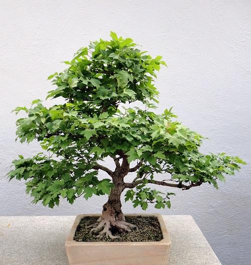 گیاهان مینیاتوری